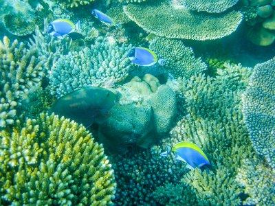 Tropical-powderblue-surgeonfish-or-blue-tang-against-coral-reef,-Maldives-000067203411_Small.jpg