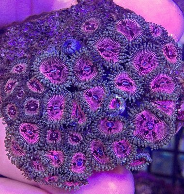 Explanation on How Zoas Get Their Names