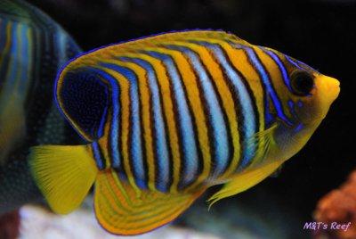A Reef2Reef Spotlight:  Regal Angelfish