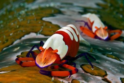 The Emperor's Shrimp (Periclimenes Imperator)