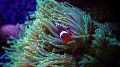Clownfish-in-Tropical-aquarium-000091636155_Small.jpg