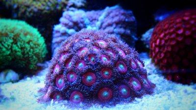 Pink-Coral-in-Coral-reef-aquarium-000081223181_Small.jpg