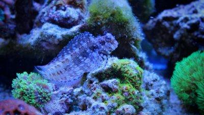 Algae-blenny-(Salarias-fasciatus)-000081224087_Small.jpg