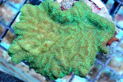 What about the Merulina Coral?