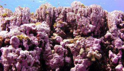 Spreading The Goods: Giving Coralline Algae A Kickstart
