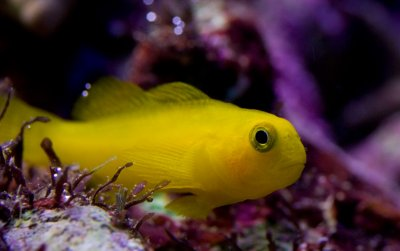 Clown Goby Symbiosis