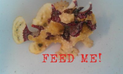 How To Train Your Frogfish (Anglerfish) To Eat Frozen Food