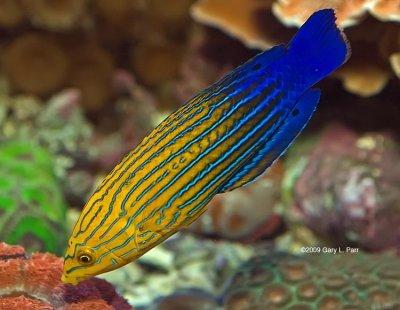 Reef Wrasse: Aquarium Duty