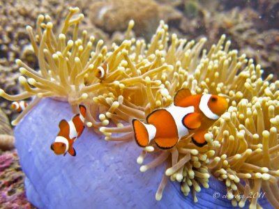 The Symbiotic Relationship between Clownfish and Anemones
