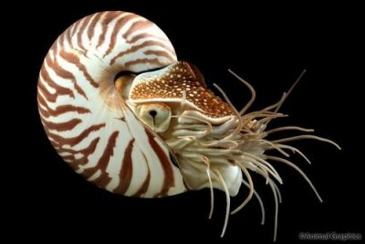 The Mysterious Chambered Nautilus