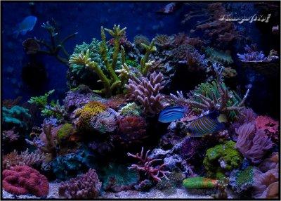 "Reef Spotlight - January 2012 - ""swannyson7"""