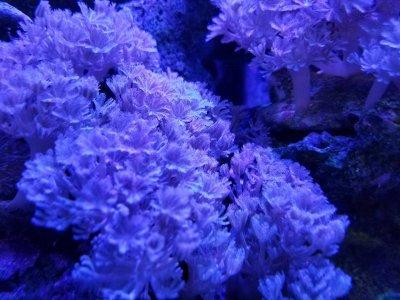 Beginner Corals: Pulsing Xenia
