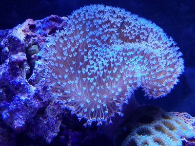 Beginner Corals - Leathers