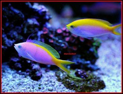 Fish Spotlight: Anthias