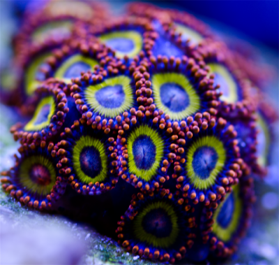 zoas F.png