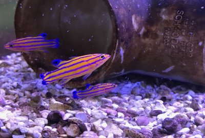 Captive Bred Candy Basslets are Ready for Your Tank!