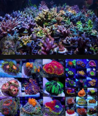 Big R Corals.png