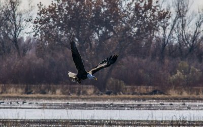 bald eagle running with meal.jpg