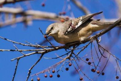 mockingbird with berry.jpg