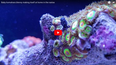 Raising the Komahara blenny