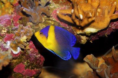 Venustus Angelfish (Paracentropyge venusta)| Fish Spotlight