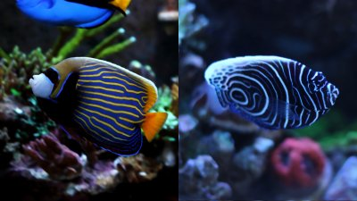 Emperor Angel Journey from Juvenile to Adult