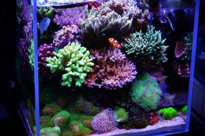 R2R Reef Spotlight: PongPit's Amazing SPS Nano Reef