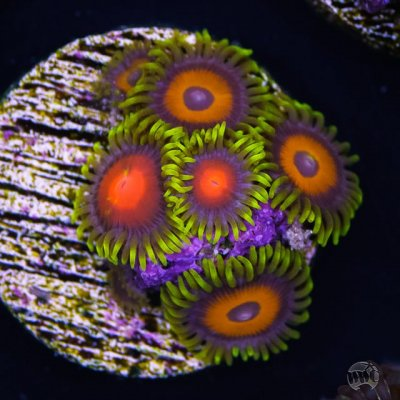 Sponsor Profile: World Wide Corals or 40,000 Frags Under the Sea