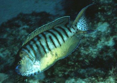 3-3-CC-Randall- Genicanthus semicinctus male  .jpg