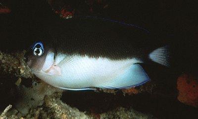3-4-CC-Randall- Genicanthus semicinctus female.jpg