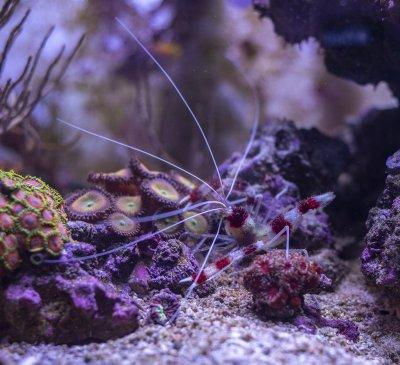 boxing shrimp.jpg