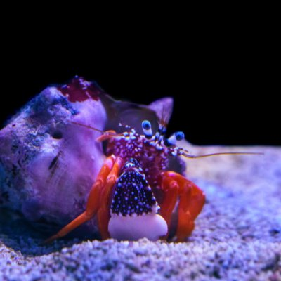 Captivating Crustaceans: Crabs for the Reef Tank