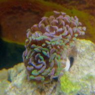Lost my torch now hammer is shrinking | Page 2 | REEF2REEF Saltwater