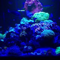 Can A Rock Flower Anemone Kill A Fish Reef2reef Saltwater And Reef Aquarium Forum