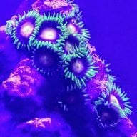 New snowflake clown with mouth open | REEF2REEF Saltwater