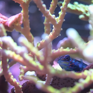 Miles's 150gal open top mixed reef, pic heavy, mangroves, triton, SPS