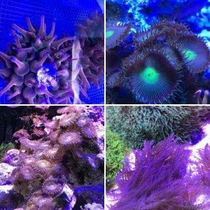 120g corals