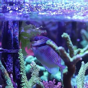 Blue-lined Rabbitfish Eating Sea Lettuce