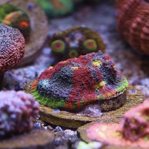 Cherry Corals Royal Flush Chalice