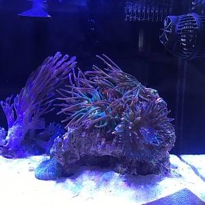 Anemone picture