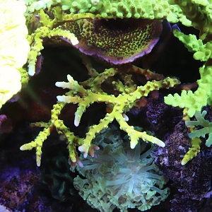 Anacropora, green tort, and spongodes jumble