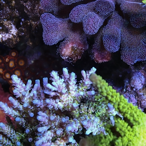 Coral fight!
