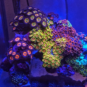 Zoas and Palys for days