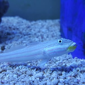 Goby 4