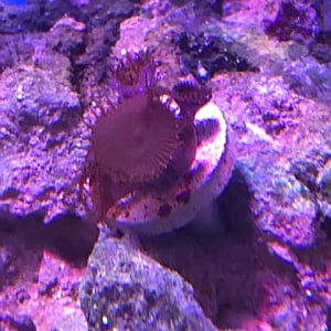 pic of some kind of zoa/paly