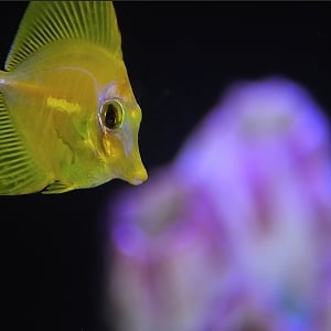 Captive Bred Yellow Tang May 2019