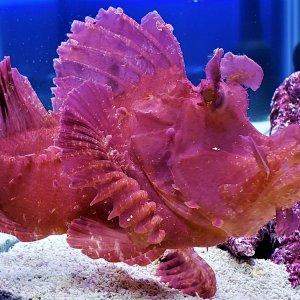 Purple/Red Rhinopias Scorpion fish
