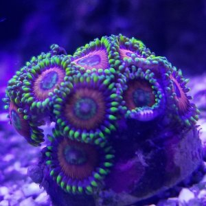 Zoa purchased at FAMAS