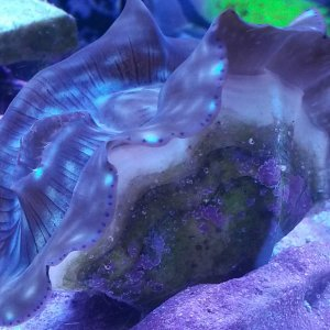 Derasa Clam Growth 3 Month Growth
