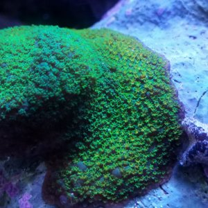 Rainbow Montipora